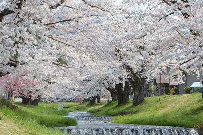 kannonji-sakura121.jpg