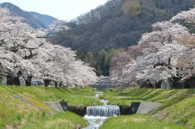 kannonji-sakura125.jpg