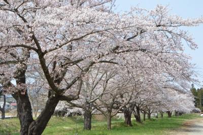 kannonji-sakura128.jpg