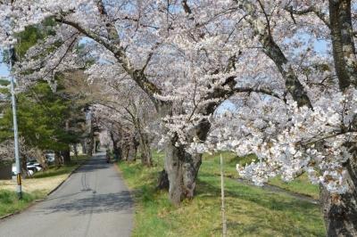 kannonji-sakura130.jpg