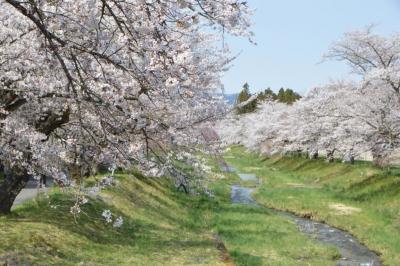 kannonji-sakura131.jpg