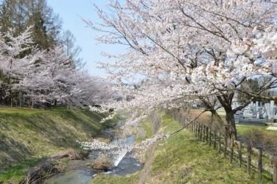kannonji-sakura132.jpg