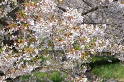 kannonji-sakura143.jpg