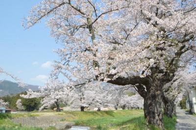 kannonji-sakura147.jpg