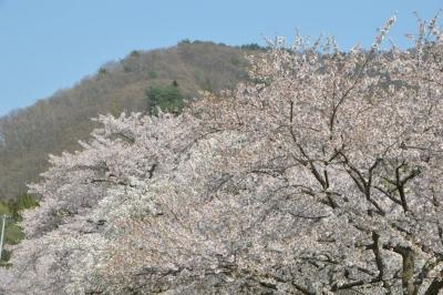 kannonji-sakura148.jpg