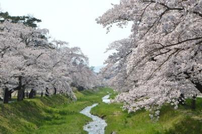 kannonji-sakura149.jpg