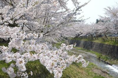 kannonji-sakura150.jpg