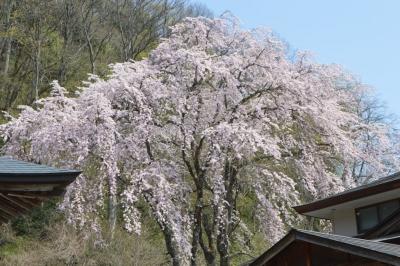 kannonji-sakura151.jpg