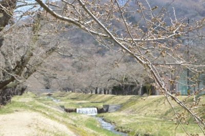 kannonji-sakura35.jpg