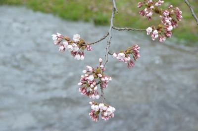 kannonji-sakura71.jpg