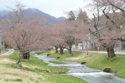 kannonji-sakura74.jpg