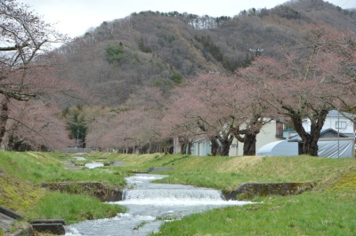 kannonji-sakura75.jpg