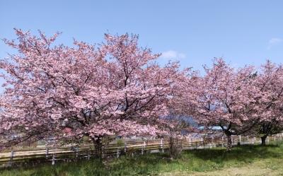 kasumizakura01.jpg