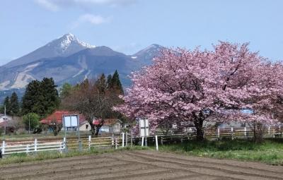 kasumizakura02.jpg
