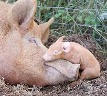 pigs-asleep-88618.jpg