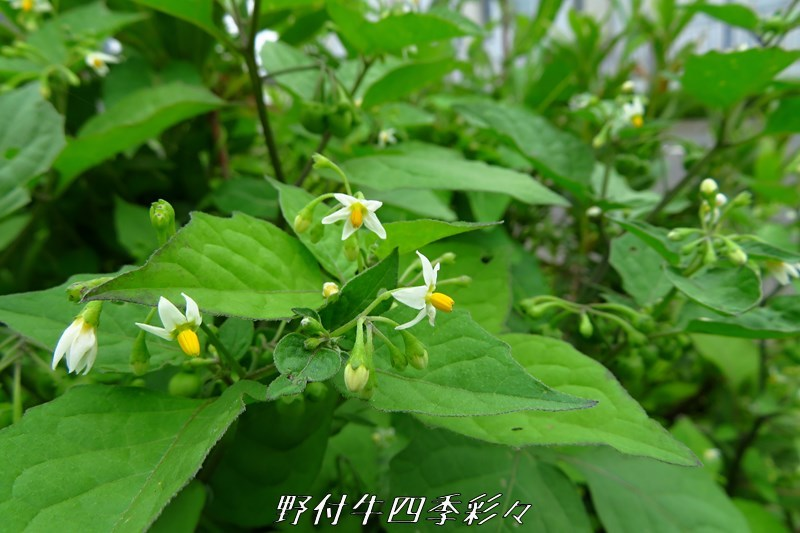 s-Ca-20200723-inuhozuki-0.jpg