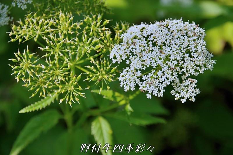 s-K70-20200715-iwamitsuba-0.jpg