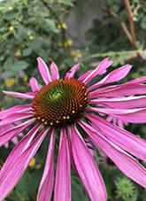 エキナセア(エキナケア) パープレア(プルプレア)(学名)紫馬簾菊(ムラサキバレンギク)パープルコーンフラワー
