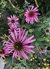 エキナセア(エキナケア) パープレア(プルプレア)(学名)紫馬簾菊(ムラサキバレンギク)パープルコーンフラワー2