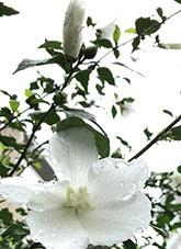 2020721広尾レクロス庭立葵1
