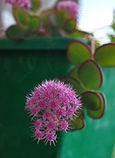 20201027サボテンの花2