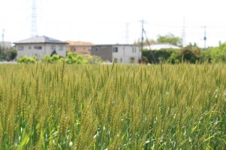 200505染谷川下流 (12)麦s