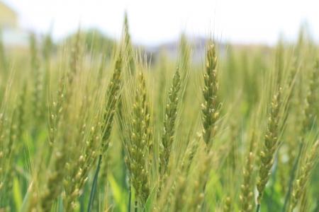200505染谷川下流 (15)麦s
