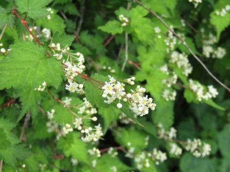 200616浅間隠山と周辺 (65)コゴメウツギs