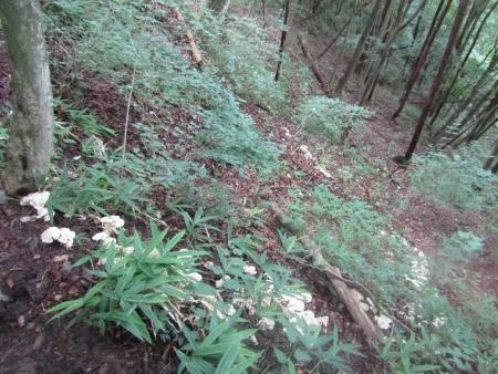 200802天狗山~鏡台山 (46)オシロイシメジs