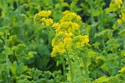 20190212_原鶴菜の花3P2127396w-20LL