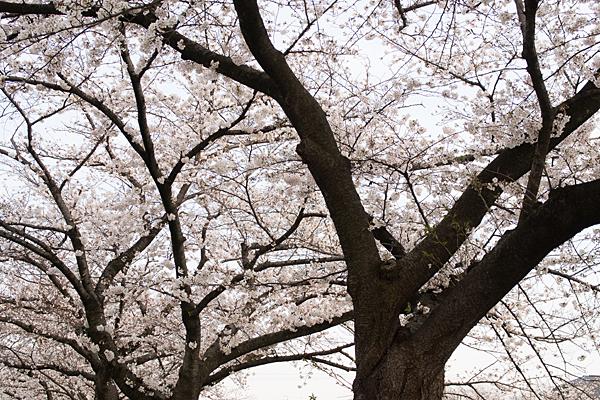 香流川桜3