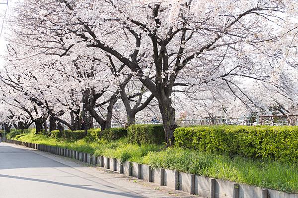 香流川桜5