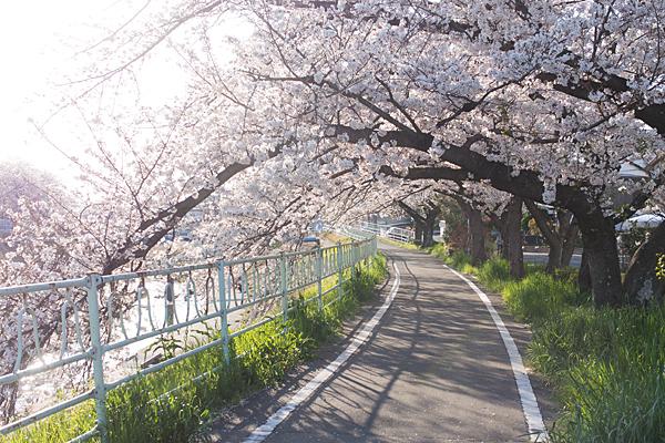 香流川桜8