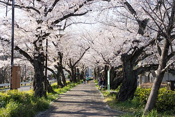 雨池公園桜トンネル