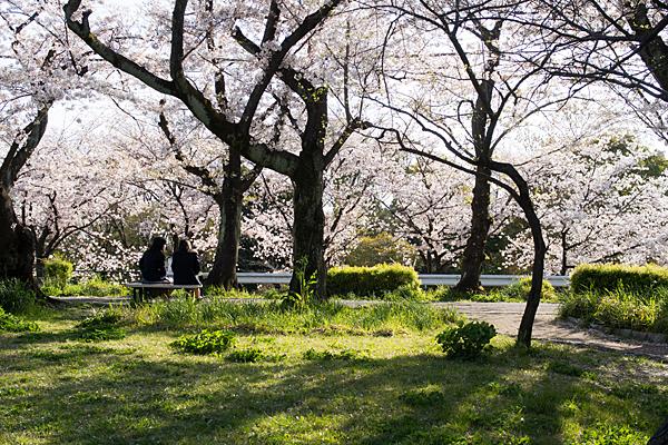 雨池公園桜ベンチ