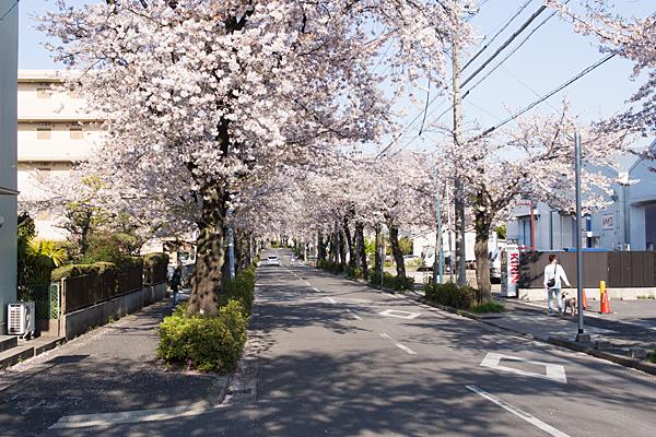 森孝八劔神社桜