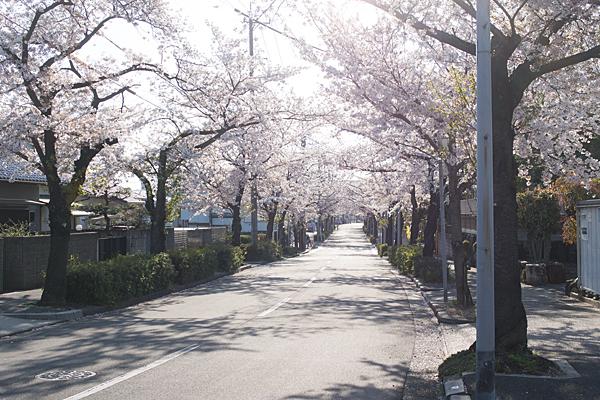 マルス裏桜