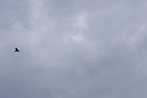 空を飛ぶカラス