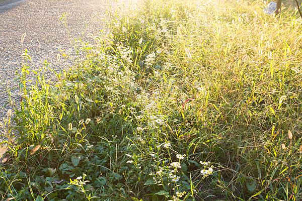 道ばた冬野草