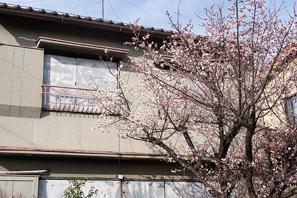 空き家の梅咲く