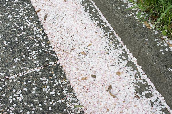 桜風景10