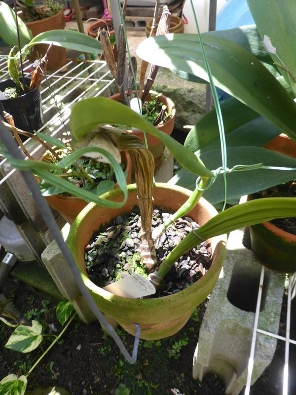 C.labiata selecut №3
