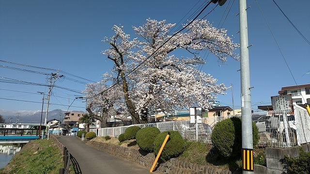 2004sakura001.jpg