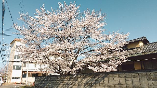 2004sakura003.jpg