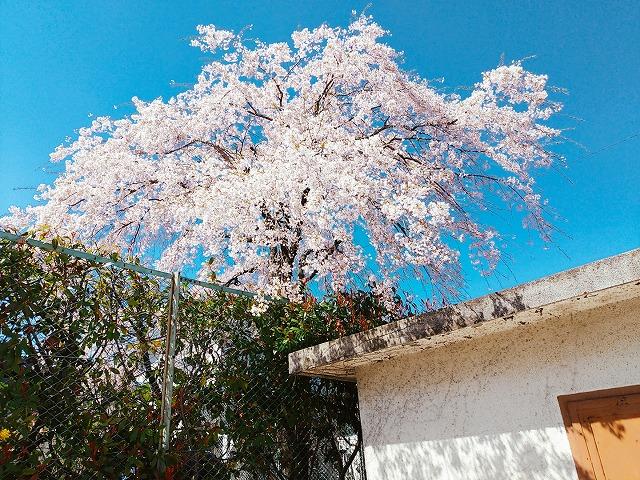 2004sakura008.jpg