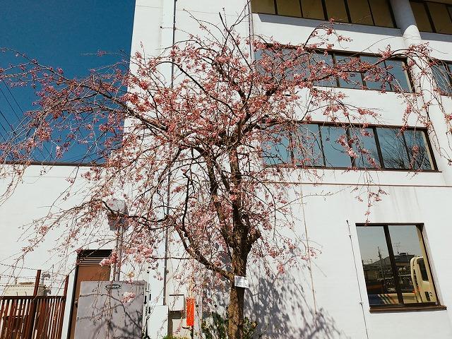 2004sakura010.jpg