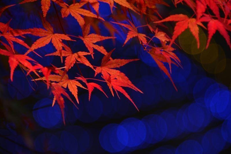 紅葉ライトアップ~w