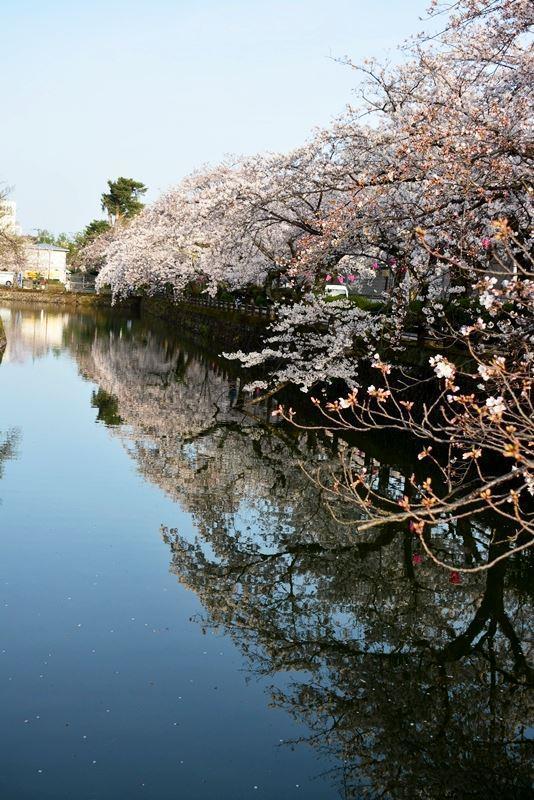 お堀の桜 (6)
