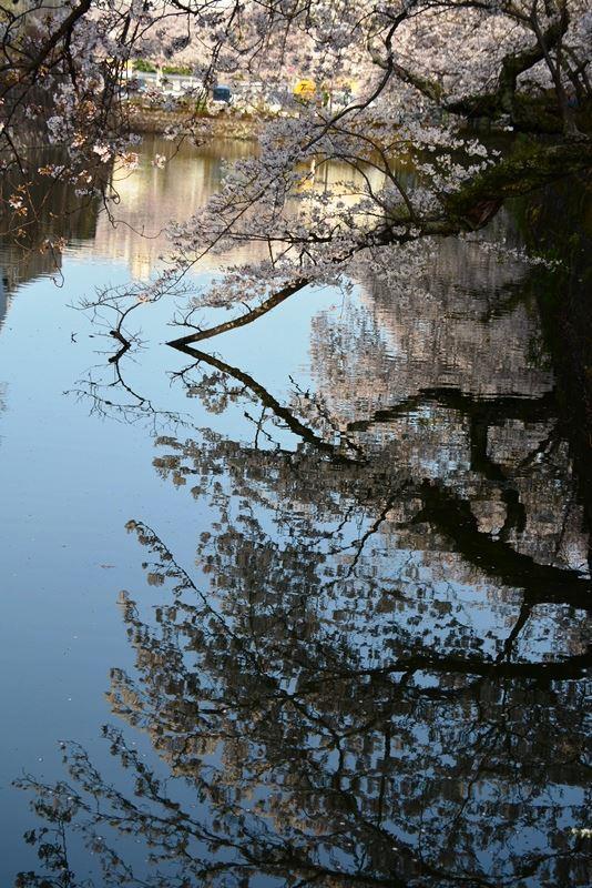 お堀の桜 (7)