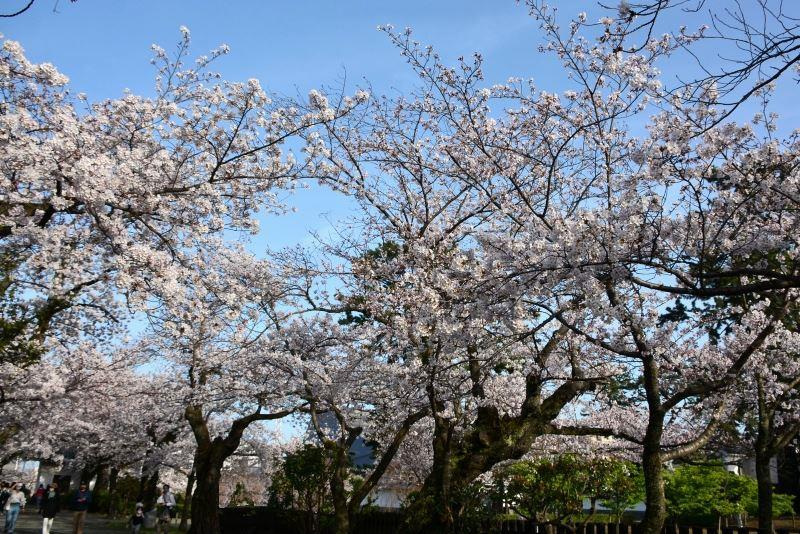 お堀の桜 (12)